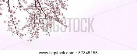 Full bloom cherry blossom branches isolated on white with slight pink gradation. Yoshino cherry (someiyoshino)