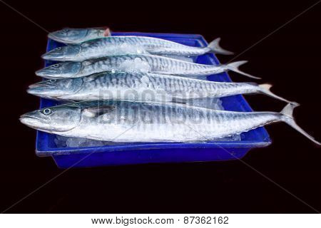 Fresh king mackerel fish on ice backet isolated on black background