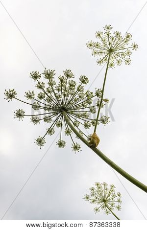 Umbels With Seeds Of The Hogweed