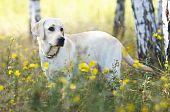 Yellow labrador retriver on green grass lawn poster