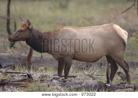 Elk Doe Grazing