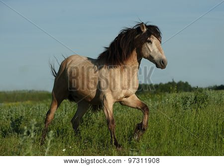 Buckskin Wild Stallion Running Gallop