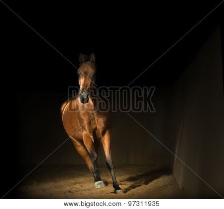 Bay Arabian Horse Training In The Riding Hall