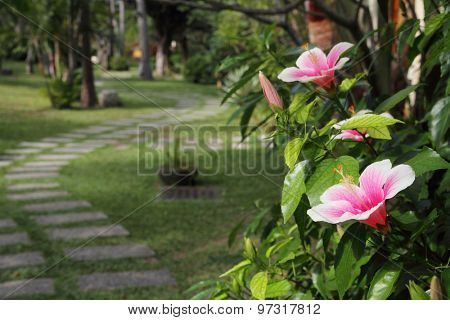 Hibiscus flower blossoming in a tropical park