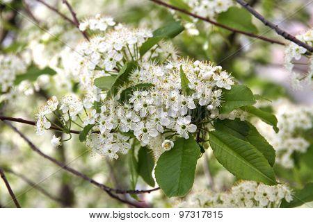 Prunus padus(Bird Cherry) blossoming