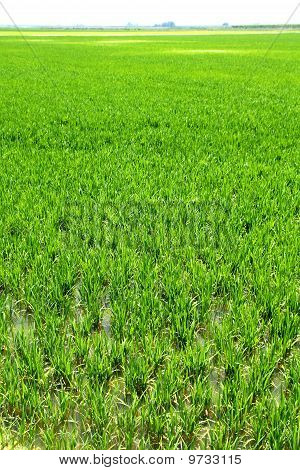 Agriculture rice cereal field perspective in spain Valencia poster