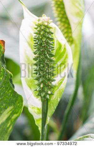 Close up Beautiful Flowers Spathiphyllum on leaves background