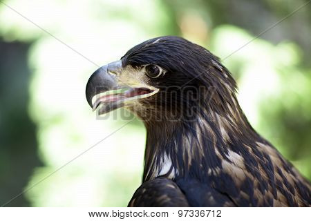 Majestic Wild Eagle