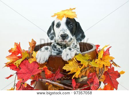 Fall Dalmatain Puppy