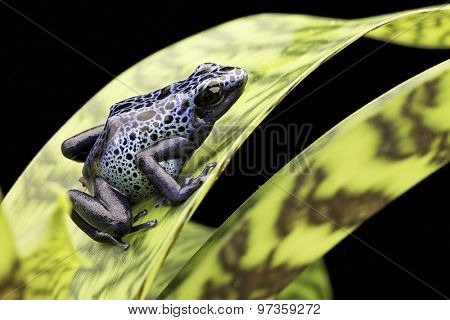 frog Amazon rain forest Suriname Dendrobates Azureus. Poison arrow or dart frog. A beautiful tropical and poisonous amazon rain forest animal