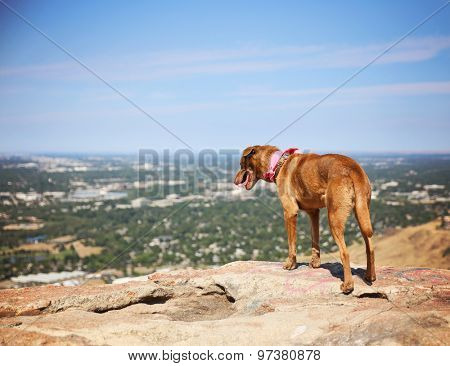 a dog sitting on a mountain top looking over a skyline panting on a hot summer day