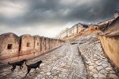 Dogs running to Amber fort at overcast sky in Jaipur Rajasthan India poster
