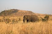 elephant family feeding in the long grass poster