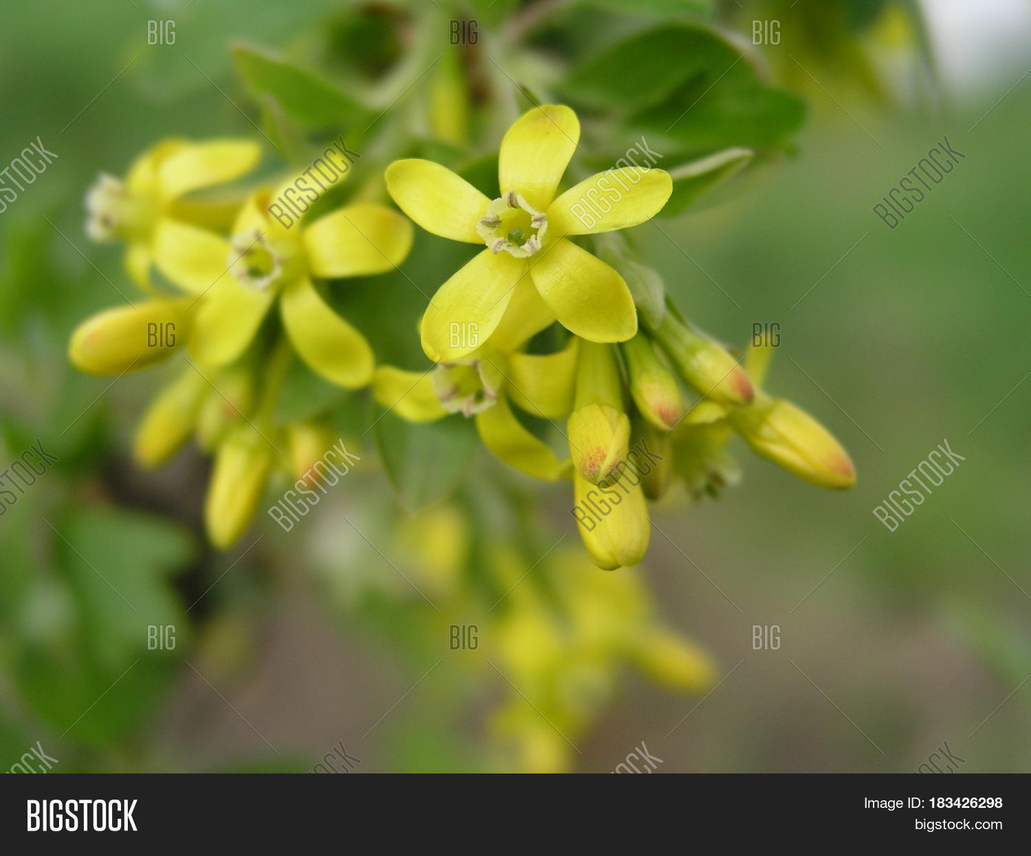 Yellow Currant Clove Image Photo Free Trial Bigstock