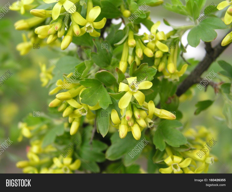 Ribes Aureum Yellow Image Photo Free Trial Bigstock