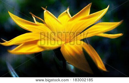 Close up of beautiful yellow Gazania flower in bright sunlight