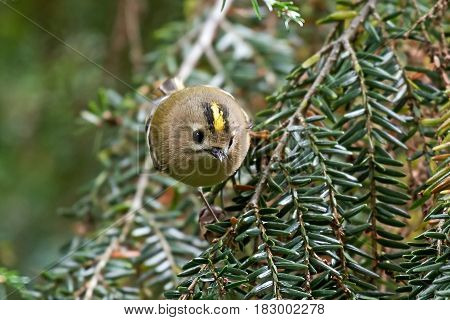 Goldcrest (Regulus regulus) sitting on a branch in its natural habitat