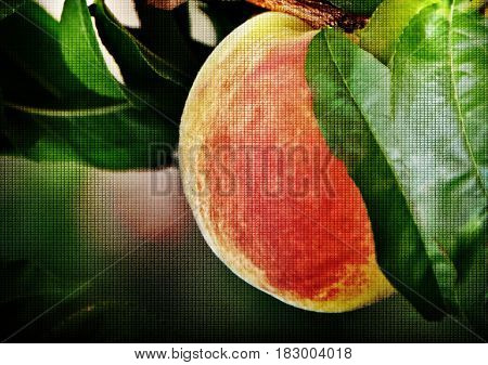 Close up of juicy Peaches on Tree