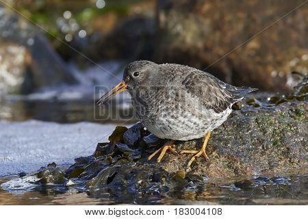 Purple sandpiper standing on a rock in its habitat