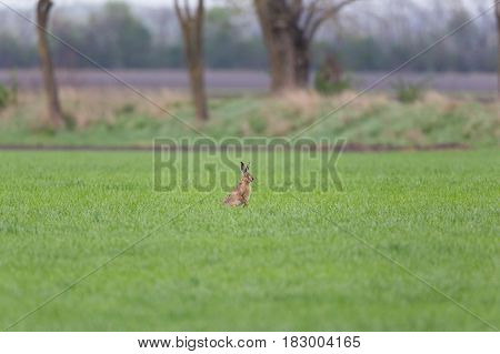 Brown Hare  (lepus Europaeus) In Green Meadow With Trees