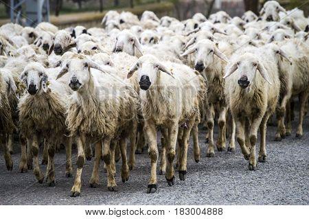 sheep's, dozens of sheep passing by, sheep returning home, sheep's arm.