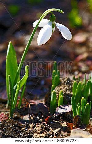 Spring snowdrop growing in the garden Galanthus nivalis