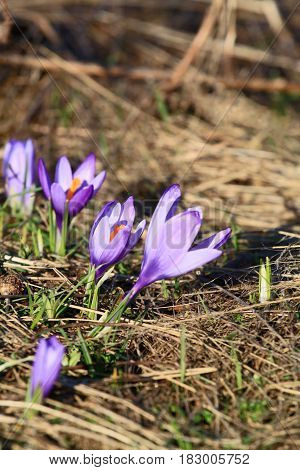Beautiful spring flowers crocus in the mountains