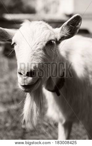 Portrait of a goat . Farm animals. Goat`s milk is good for health. Bearded goat