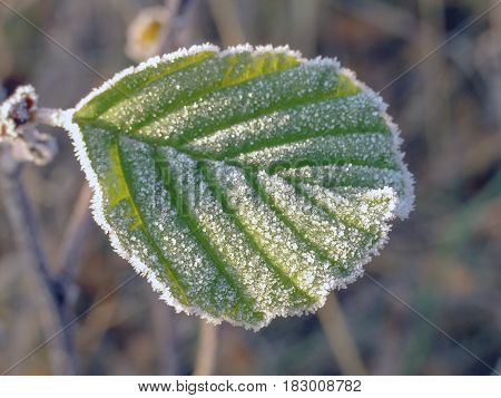Green Leaf Covered With Frost
