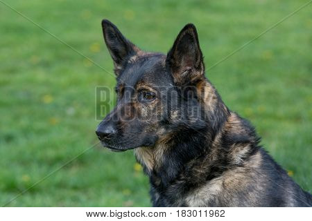 Head shot of German Shepherd . Selective focus on the dog