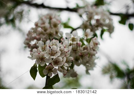 A beautiful branch of a blossoming pear tree. Delicate flowering and the heady scent of spring.
