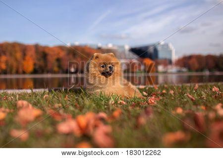Pomeranian dog walking in autumn park. Beautiful and cute dog