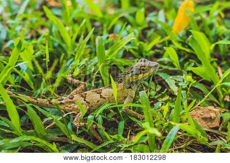 Green Lizard In The Grass In The Tropics