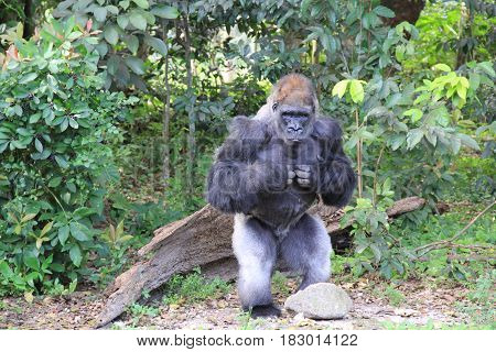 Gorilla standing close to the rock in the forest