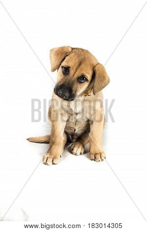 little cute mestizo puppy on white background