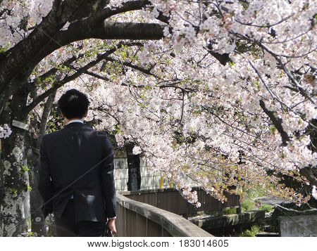 TOKYO JAPAN, 2017 April 08. A back of japanese businessman who is walking among cherry blossoms tree on sunny day.