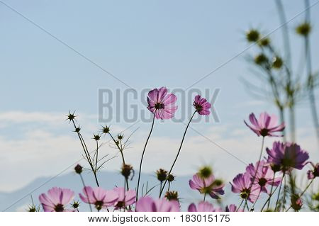 cosmos blooming in field and mountain background