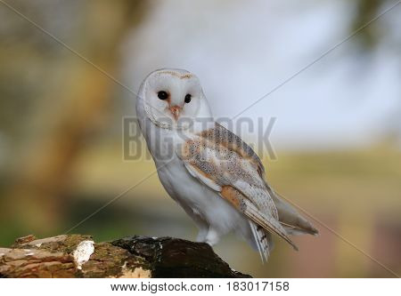 Portrait of a Barn Owl perched on a tree stump