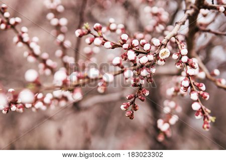 Buds on a branch of apricots that started to blossom