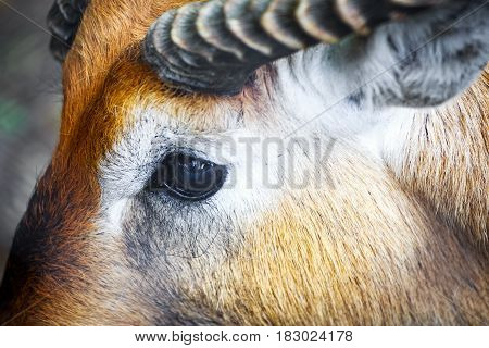 Close-up Of The Eye Of A Antelope