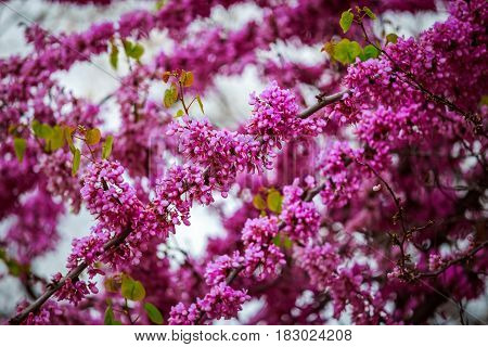 Lilac spring flower background. Selective focus at the central spring flowers. Lilac spring flowers in spring blossom. Closeup of spring flowers in the garden