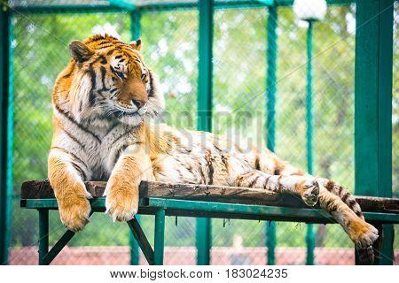 Siberian Tiger (panthera Tigris Altaica)-amur Tiger
