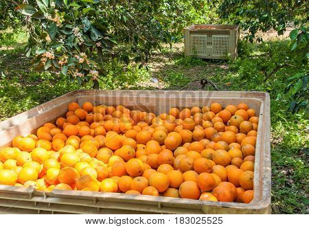 Boxes with a harvest of oranges in a garden