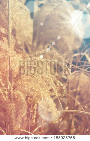 Abstract  background - reed on the morning light
