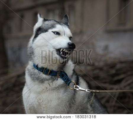 The angry  dog hasky  grinds his teeth