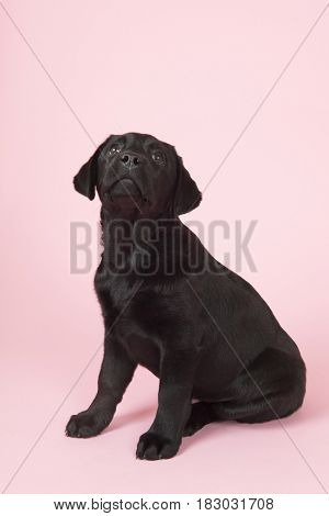 Cute little Chocolate Labrador puppy on pink background