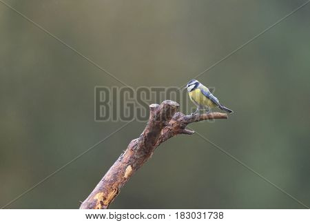 Blue tit on wooden fence
