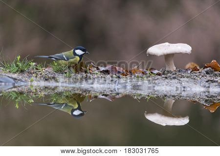 Great tit and toadstool in forest