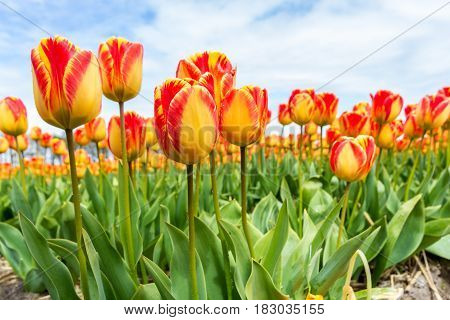 orange and yellow tulips blooming in the sun