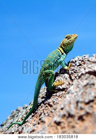 Green Iguana on the rock in Colorado